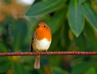 NABU Vogelführer als App erschienen